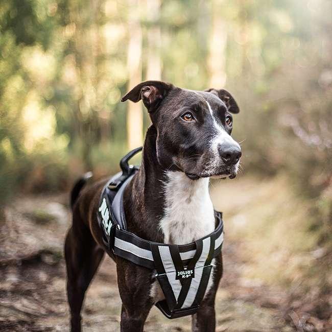 Julius K9 NZ IDC Reflective Belt on dog