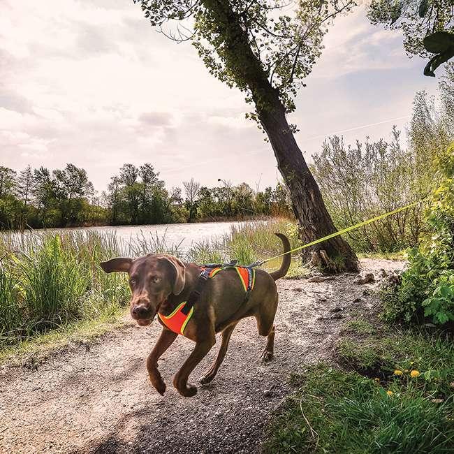 Julius K9 Mantrailing Outdoor Dog Harness on dog running