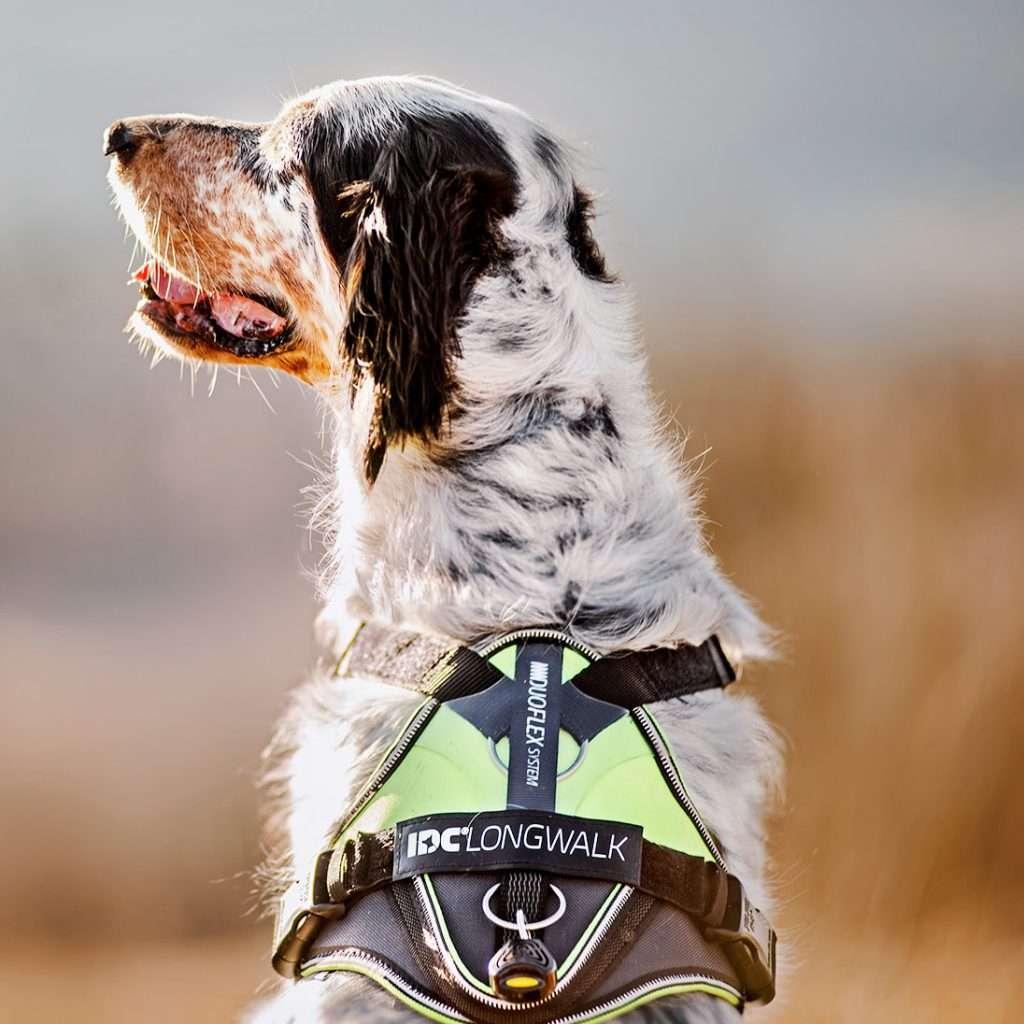 Julius K9 NZ IDC Longwalk on dog