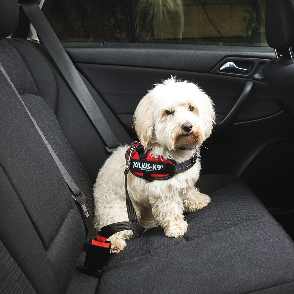 Bichon wearing IDC Powerharness with seat belt connectors