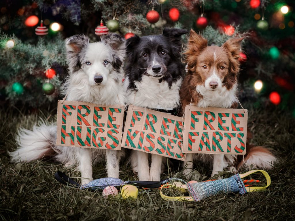 Border Collies with Christmas signs saying Free Hugs, Free Kisses and Free Farts