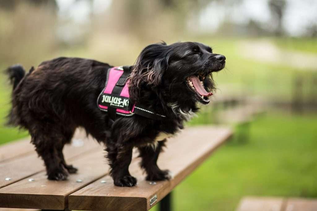 Happy little black dog wearing pink Julius K9 IDC Power Harness