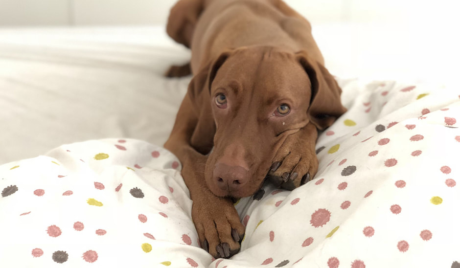 Dog up on bed