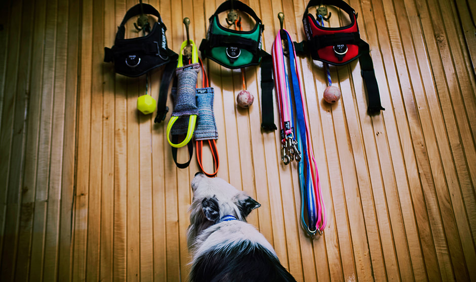 Collie looking up at their Julius K9 IDC Powerharnesses and toys