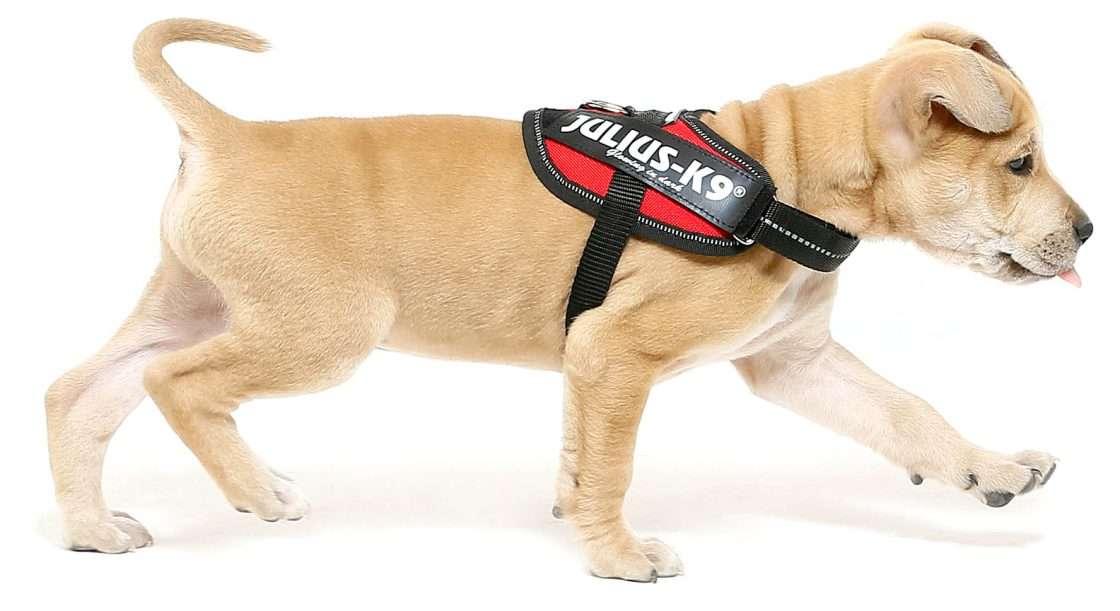 Julius K9 NZ IDC Powerharness on puppy