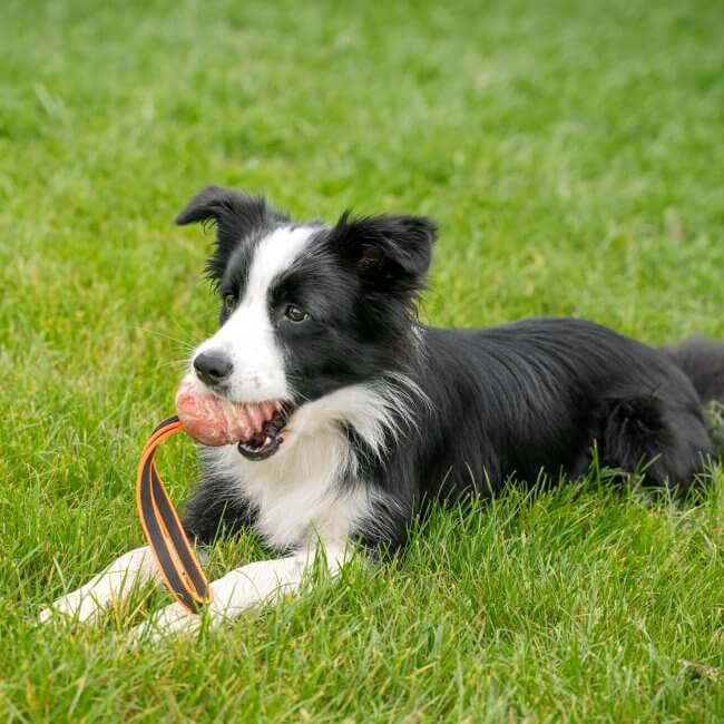Border Collie playing with Julius K9 NZ Duoplay ball