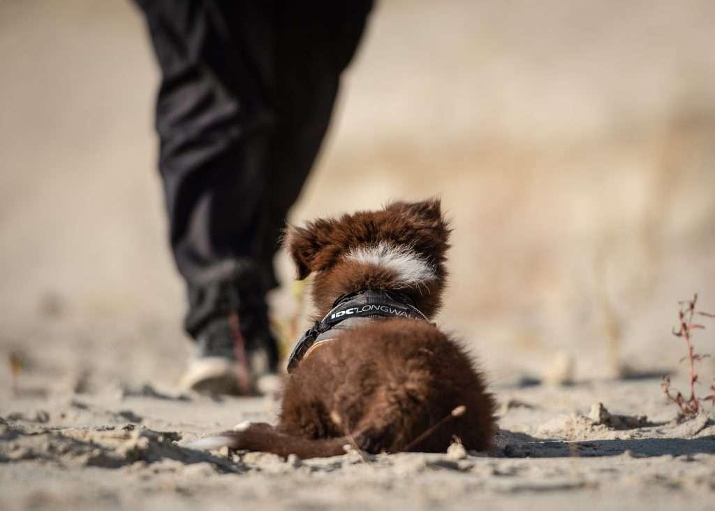Small fluffy puppy wearing IDC Longwalk harness